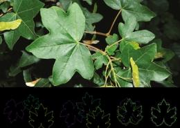 Course Geometric Morphometrics with Plants